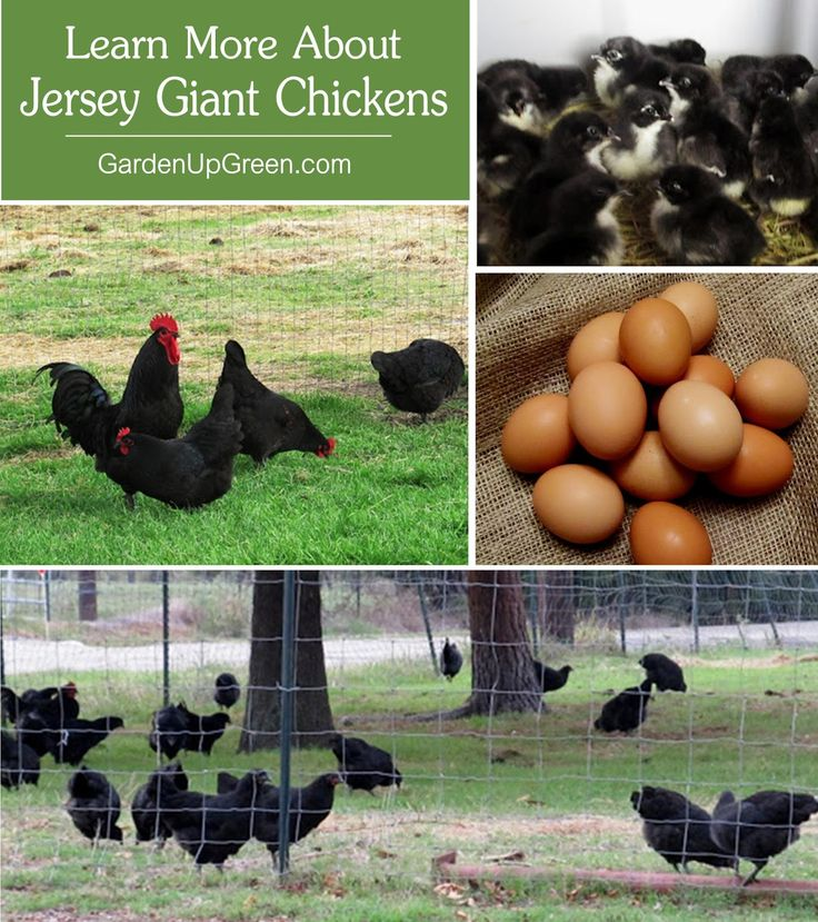 Looking for a Dual Purpose Chicken breed?  Learn more about the Jersey Giant.