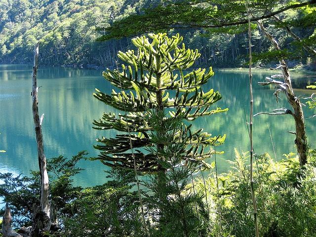 Monkey Puzzle Tree, Chile