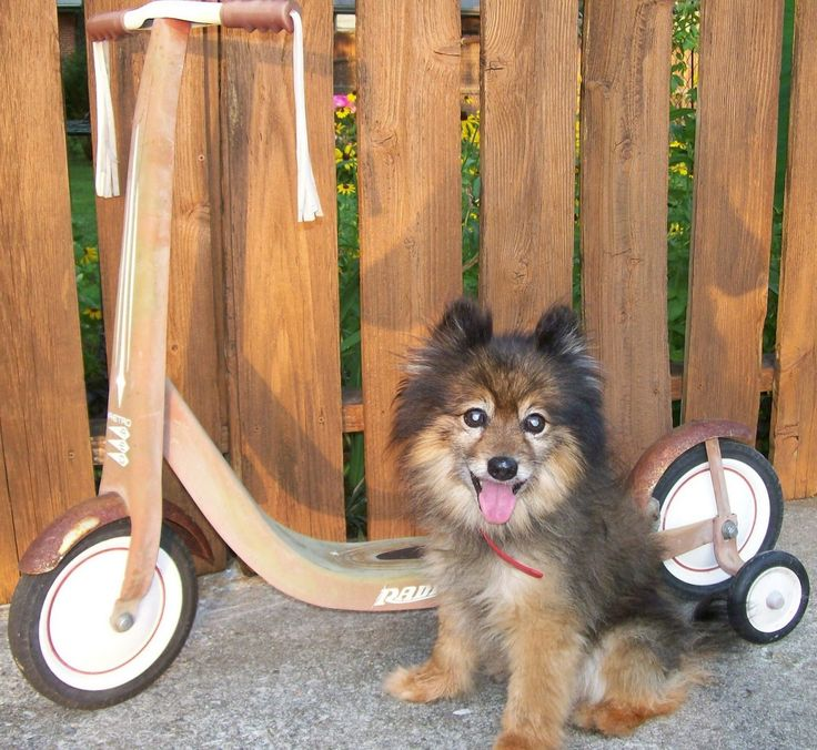 Shetland Sheepdog Pomeranian Mix Puppy. this isnt the breed of my dog but it looks almost exacty like him