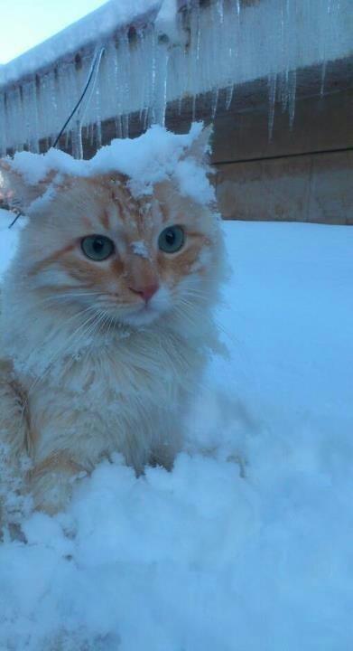 Snowy #Cat