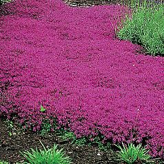 Thymus serpyllum, or Creeping Thyme | super-vigorous, lemon-scented, brightly-flowered variety spreads 18 inches in no time in the sunny garden, giving you months of deep pink blooms and heavenly fragrance. tolerates dry soil and needs little care after it is established. It self-sows readily, dropping it seeds after flowering season is over and then this new seed sprouts the next spring keep a robust stand of creeping thyme ground cover thriving.