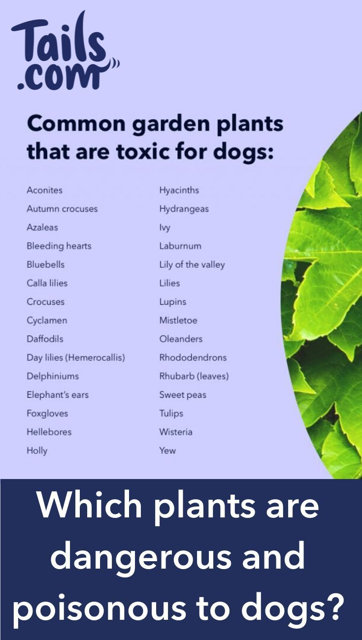 Which Plants Are Dangerous And Poisonous To Dogs In 2020 Dog Health Tips Dog Nutrition Big Dog Little Dog