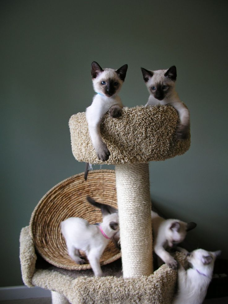 Breeders of Siamese kittens available for sale. Siamese kittens raised in our loving home.