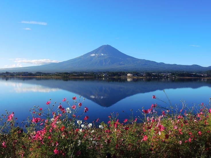 コスモスと逆さ富士