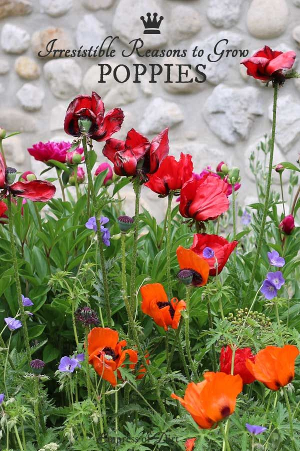 10 Irresistible Reasons to Grow Poppies | front yard