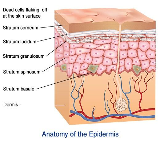 do you know your skin? layers of the epidermis and their functions