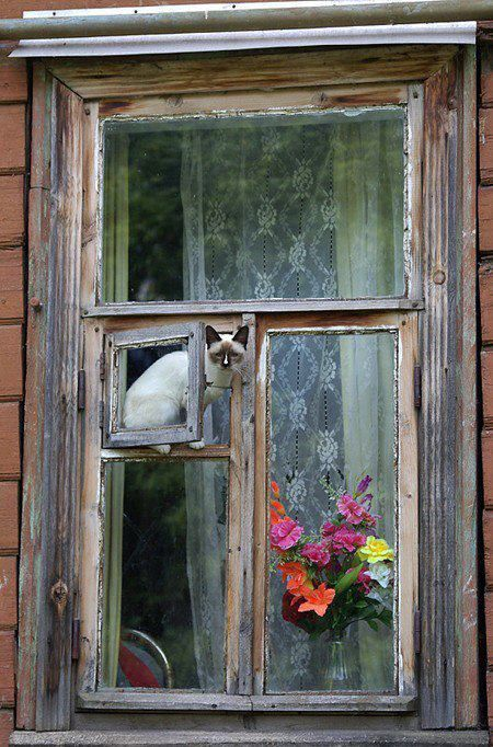window perch: Siam Cat, Cat Window, Lace Curtains, The View, Vintage Window, Old Window, Fresh Flowers, Kitty, Window Seats