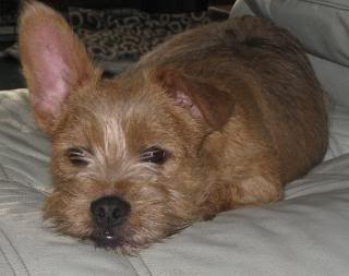 1000+ images about Doggies! on Pinterest   Husky mix, Dog ... Yorkie And Bulldog Mix