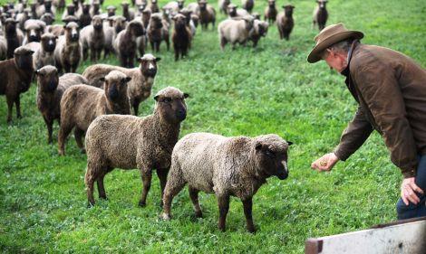 5th generation Dave Dennis feeding members of the black Polwarth flock.