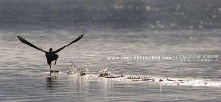 Sakar Meke* su yüzeyinden koşarak uçar  *Sakar Meke Bir göçmen su kuşudur.