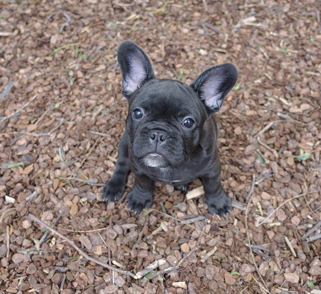 Why are you so tall?  Onyx the Funny French Bulldog, @tobychews on instagram