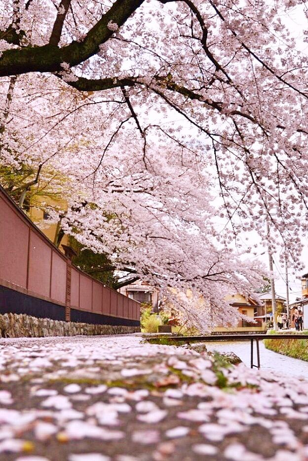 #Cherryblossoms in #Kyoto and the town turns pink! 春の疏水,Kyoto