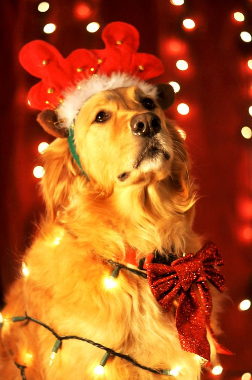 Golden Retriever Merry Happy Christmas Day Card Puppy Holiday Dogs Santa Claus Dog Puppies Xmas #MerryChristmas