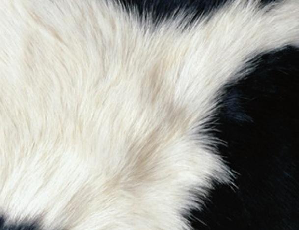 Cow - Blackberry Bold 9700 9780