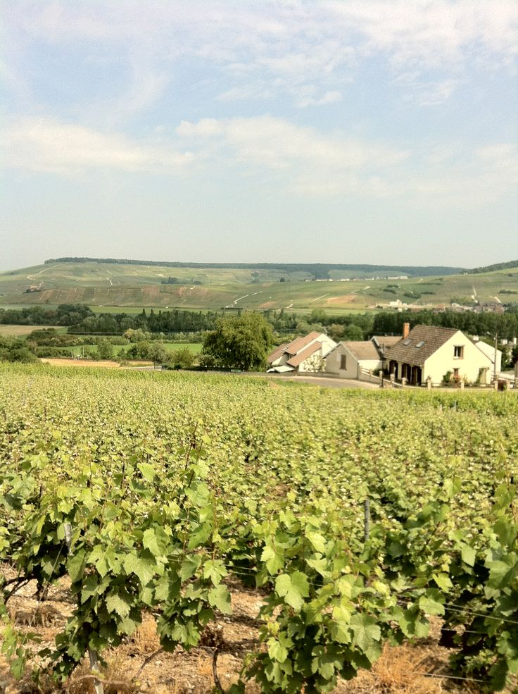 Summer in the wines near Oeuilly, Champagne