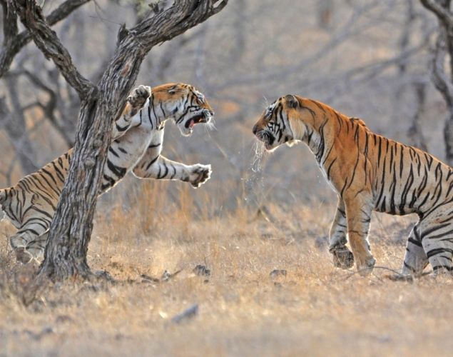 a few tigers fighting
