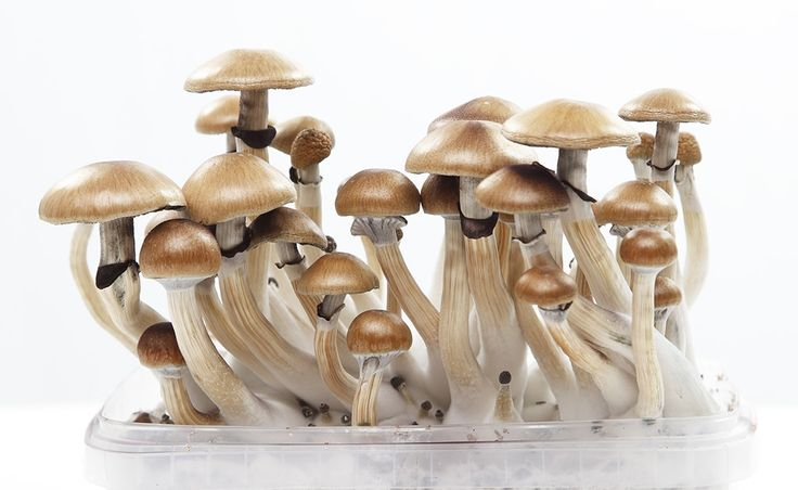 Shrooms is the collective name for all mushroom species that contain the psychoactive substances psilocybin and psilocin. These substances have hallucinogenic and psychoactive effects, and have been used by civilization across the globe for centuries. They are also known as magic mushrooms.