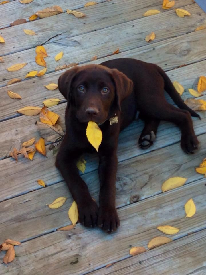 Autumn leaves and chocolate Labrador