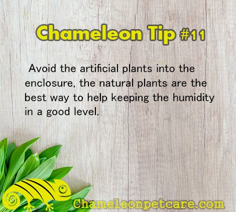 For more help and Tips on how to care for your #chameleon . Visit and Join us on the website!