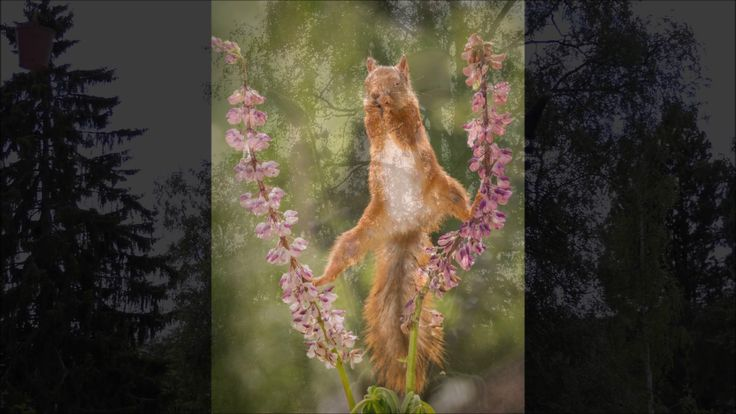 wild red squirrels doing yoga