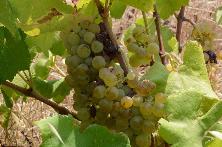 Organic grapes grown following the principles of biodynamic cultivation