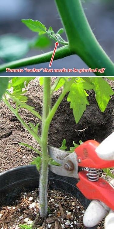 """Advantages of Pruning Tomato Plants Pinching off the """"suckers"""" from a tomato plant will help the plant to concentrate its energy on the growing fruit instead of the leaves, creating better, healthier"""