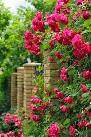 Mooie kleurige klimroos, zorgt voor romantische sfeer