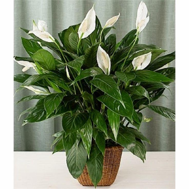 Spathiphyllum female happiness.     Спатифиллум женское счастье