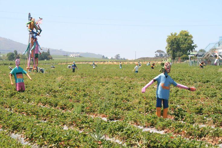 Strawberry picking ar Mooiberge strawberry farm