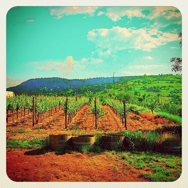 Wineyard - @balazsroth- #webstagram