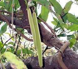 Bush Tucker Plant Foods - Parsonsia straminea - Common Silkpod