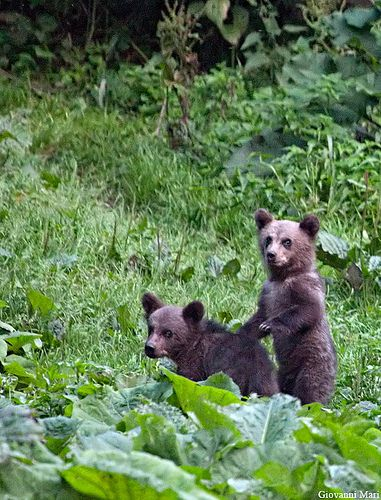 Carpathian Brown Bears, Piatra Craiului NP - Romania | Flickr - Photo Sharing!