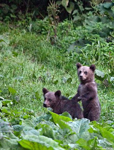 Carpathian Brown Bears, Piatra Craiului NP - Romania   Flickr - Photo Sharing!