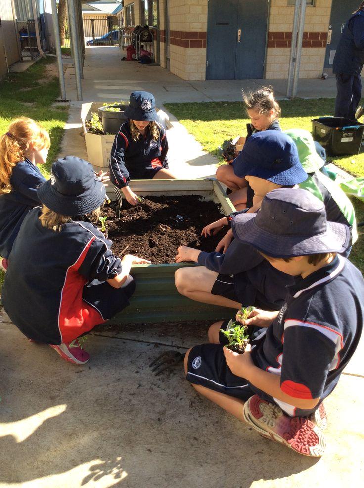 Students planting vegies at Secret Harbour Primary School