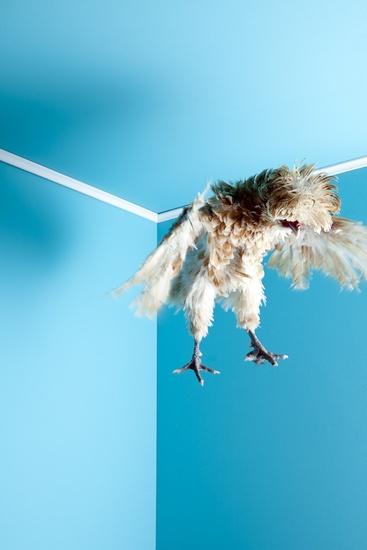 Mitch payne Photography - domesticated poultry..LOVE!