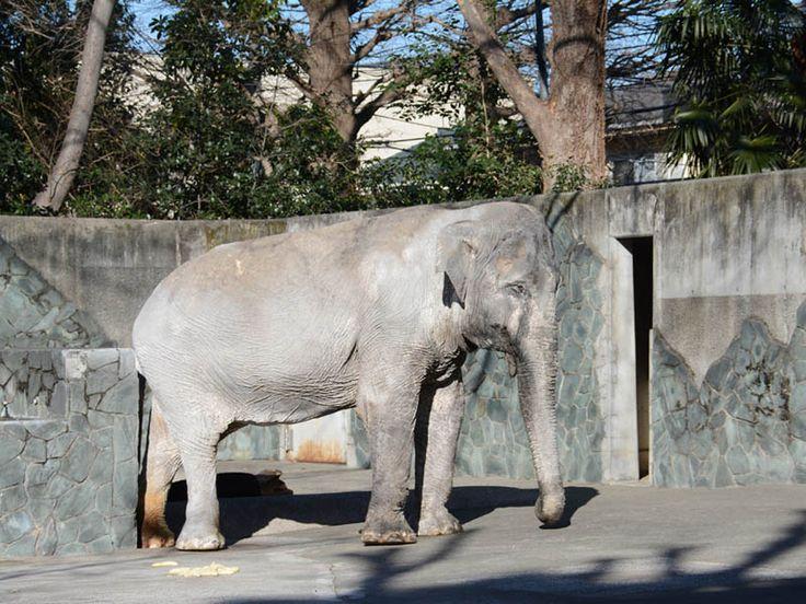 さようなら、アジアゾウ「はな子」   東京ズーネット
