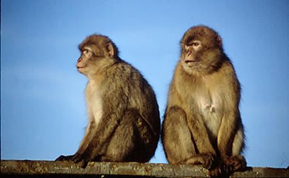 The Barbary monkeys are a family of primates consisting of baboons, guenons and langurs. Loss of habitat are threatening these primates, even though they are the only free-range monkeys in Europe. Today there are around 230 individual monkeys, divided into six groups of varying numbers.
