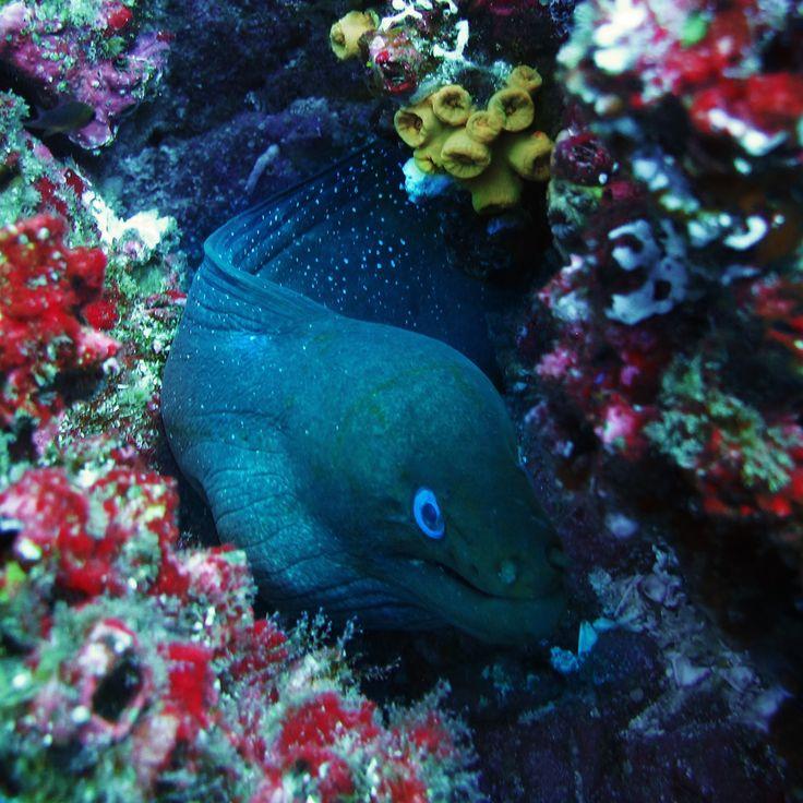 moray eel, isla del coco.