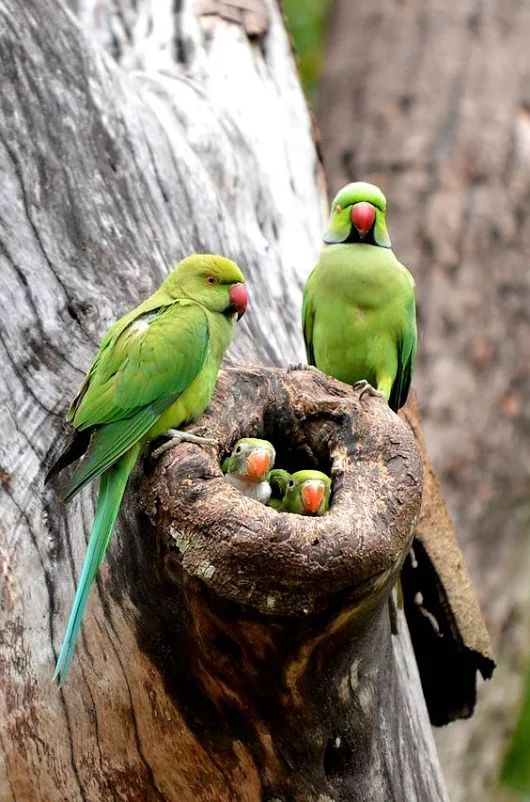 "عکس Couldn't identify specific cockatoos or parrot but nest and babies too good to pass ""A Girl"" pinner identifies them as Indian ring necks, a type of paraqueet.  Thank you ""A Girl"""