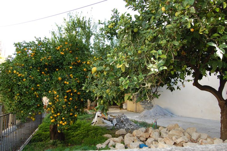 Citrus trees, Crete
