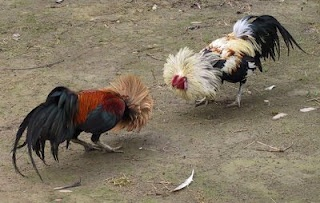 Peleas de Gallo: Chicken, Cockfight, Fight Escapad, De Gallo, Cock Fight, Google Search, Cockadoodl Doo, Angry Cock, Pelea De