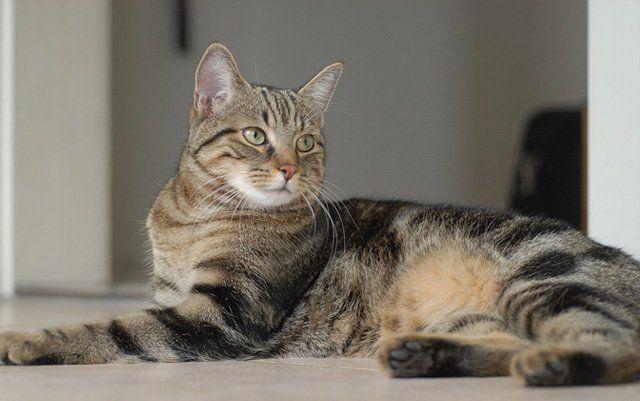 Sarna en gatos, causas, sintomas y tratamiento