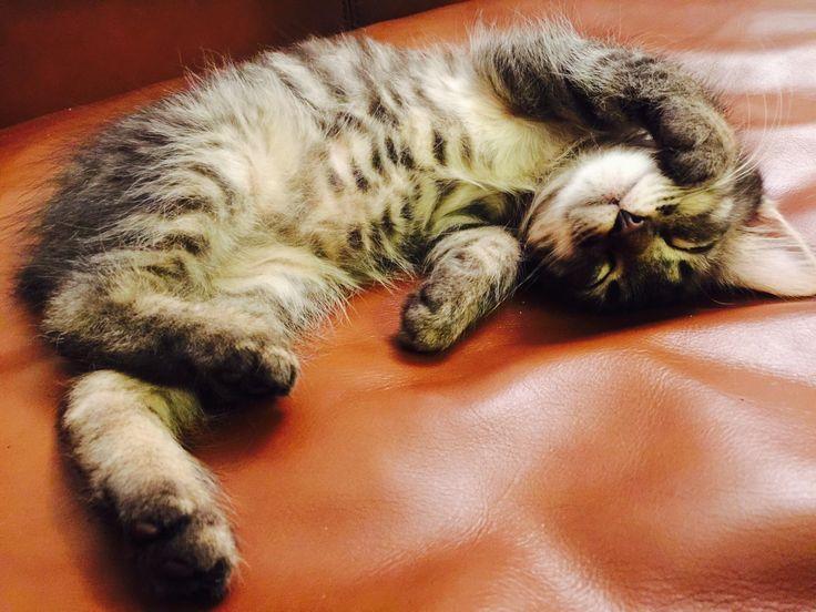 A little Manx kitten http://ift.tt/2okzLEs