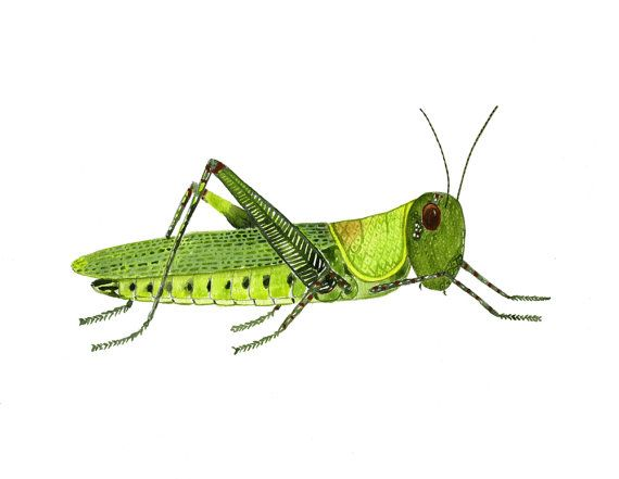 Image result for grasshopper illustration
