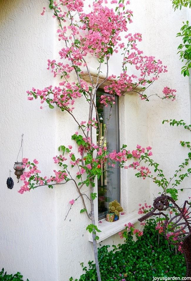 Bougainvillea Winter Care What To Do With A Bougainvillea: Best 20+ Bougainvillea Colors Ideas On Pinterest