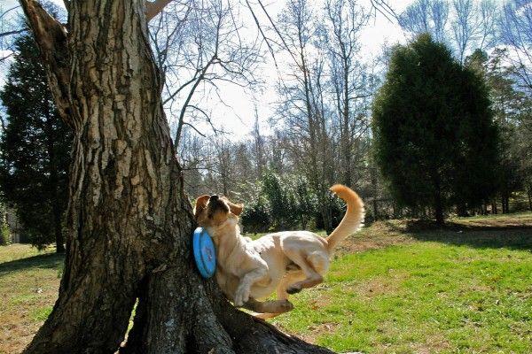 Se fijó tanto en el frisbi que no vió el árbol