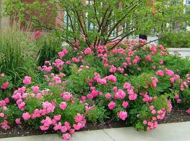Simple Rose Garden: 91 Best Flower Carpet Roses