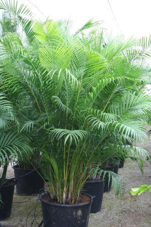 Palma Areca - Dypsis lutescens  #DeCaliSeHablaBien