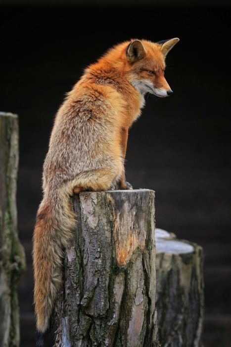 lol, we used to have a little pet fox when I was a kid. Only my dad was allowed in the pen to play with it. We could only watch from the outside. It was an amazingly tame little thing.