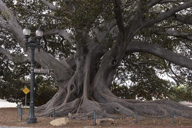 Santa Barbara's Moreton Bay Fig Tree located in Santa Barbara, California, is believed to be the largest Ficus macrophylla in the country -- photo by Carol M. Highsmith